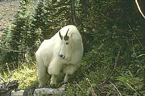 Mountain Goat The Mountain Goats Of British Columbia