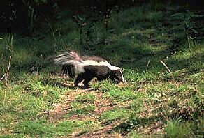 Название: Скунс с темно-коричневой шерстью и белой полосой на спине.